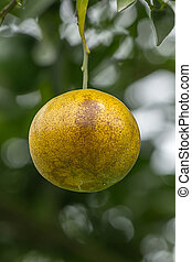 oranges on a tree branch