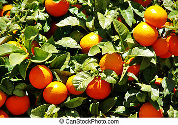 Oranges on green leaves