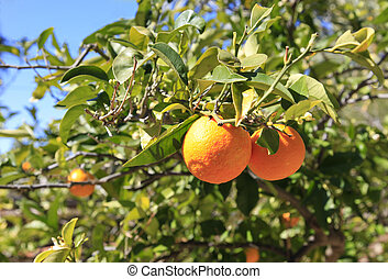 Oranges ripen on the Tree