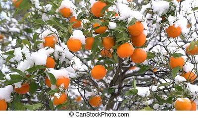 Oranges under the snow in Montenegro