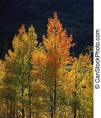 Orange&Yellow Aspens - Orange & yellow aspen leaves in the ...