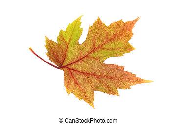 Orangish Red Maple Leaf - Photo of a bright orange/red maple...