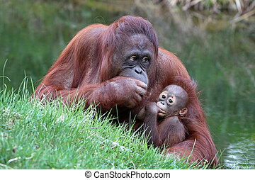 orangotango, mãe, com, bebê