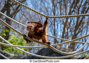 orangután, focos, en, soga