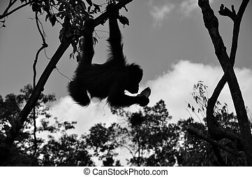 Orangutan at Borneo National Park - Black and White - Wild...