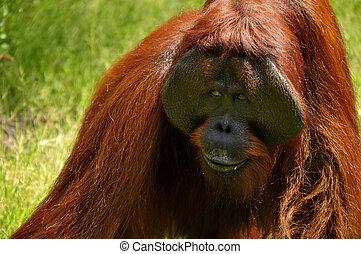 Orangutan at National Park - Expression orangutan at...