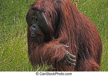 Orangutan at National Park - Orangutan at rehabilitation...