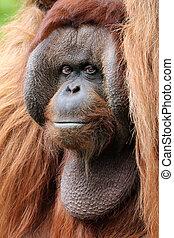 Orangutan close-up portrait