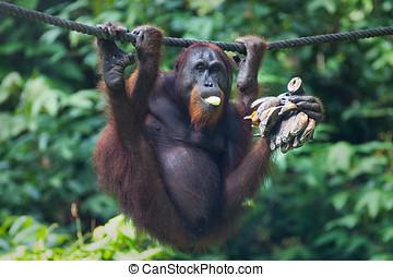 Orangutan eats bananas - Orangutang in Sepilok nature...