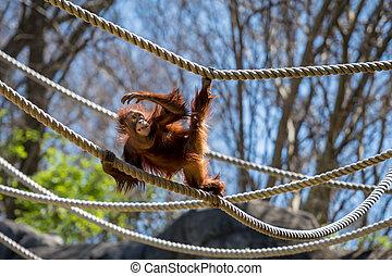 orangutan, fókuszál, képben látható, odaköt