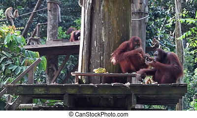 orangutan family dinner