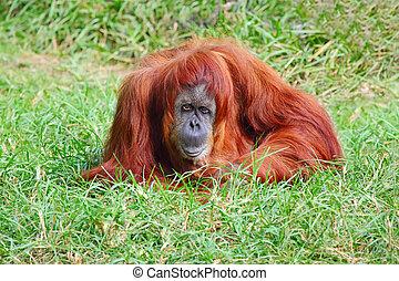 Orangutan female enjoying in the grass