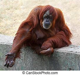 Orangutan in captivity in a zoo