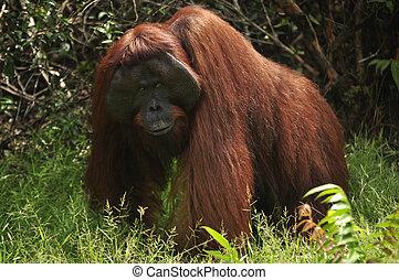 Orangutan in Wilderness - Orangutan at rehabilitation center...