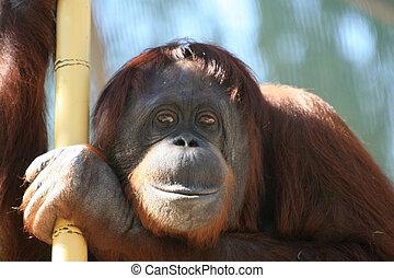 Orangutan looking at me - looking at you