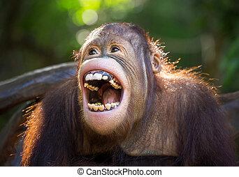 orangutan., mosoly