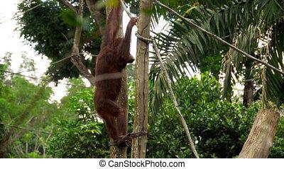 Orangutan on the tree - Orangutan is extant species of great...