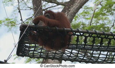 Wide low angle shot of an orange orangutan perched on a net suspended over the ground