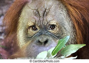 Orangutan - Reading thoughts look of an orangutan male. Wild...