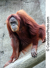Orangutan - Playing orangutan posing.