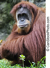 Orangutan (Pongo pygmaeus), Native to Borneo, Indonesia