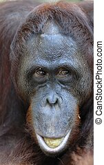 Orangutan Portrait. A portrait of the young orangutan on a nickname Ben. Close up at a short distance. Bornean orangutan (Pongo pygmaeus) in the wild nature.
