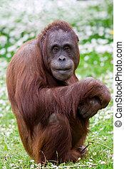 Orangutan portrait.