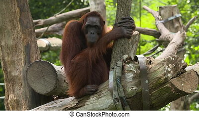 Orangutan sitting on a log, watching - Front view of an ...