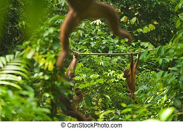 Orangutan Swinging Through Jungle Sepilok - Orangutans swing...