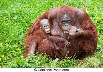 orangutan with her cute baby - Mother orangutan with her...