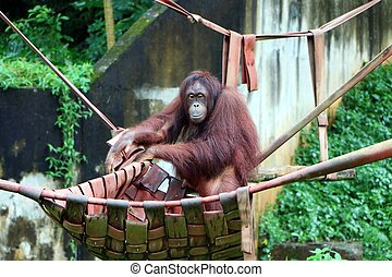 Orangutans are three extant species of great apes native to Indonesia and Malaysia.