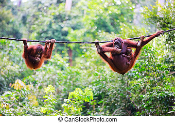 Orangutans from Sabah in Malaysian Borneo - Mother, baby and...