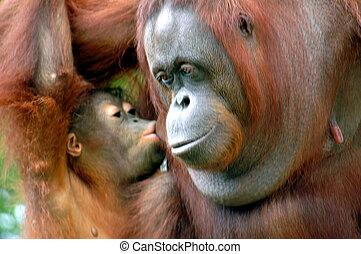 Orangutans - photographed baby orangutan kissing mommy at...