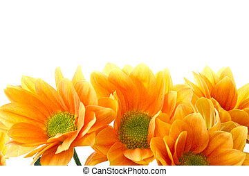 oranje bloemen, chrysant