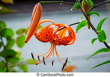oranje bloemen, lelie, achtergrond, natuur