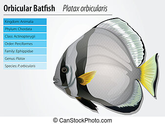Orbicular batfish - Illustration of orbicular batfish -...