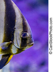 Orbicular batfish in the water - Orbicular batfish (Platax...