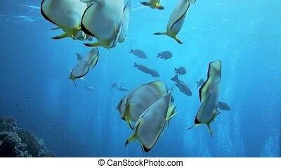 Orbicular batfish Platax orbicularis swims in the blue...