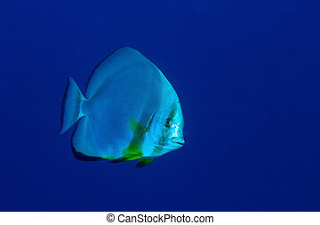 Orbicular batfish (Platax orbicularis) in deep blue, Red...