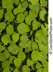 orbicular leaf type plants - Close up view of a group or...