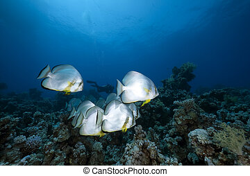 orbicular spadefish and ocean