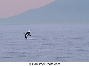 orca 141 - breeching Orca whale