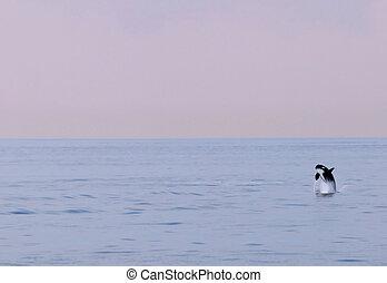 Orca 99