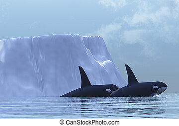 ORCA - Two Killer Whales swim near an iceberg in the Arctic...