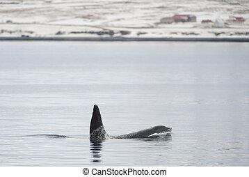 Orca, ijsland