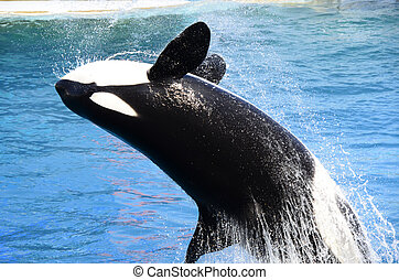 orca out of the water