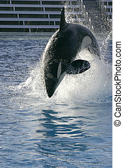 Orca whale jumping - An Orca whale jumping out of the water