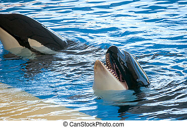 Orcas playing in a pool