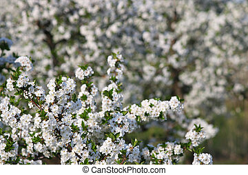 orchard apple tree branch with flowers spring season