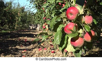 Orchard bursting with ripe apples and containers with...